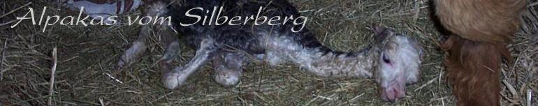 Chov Alpak v Lengefeldu v Krušných horách